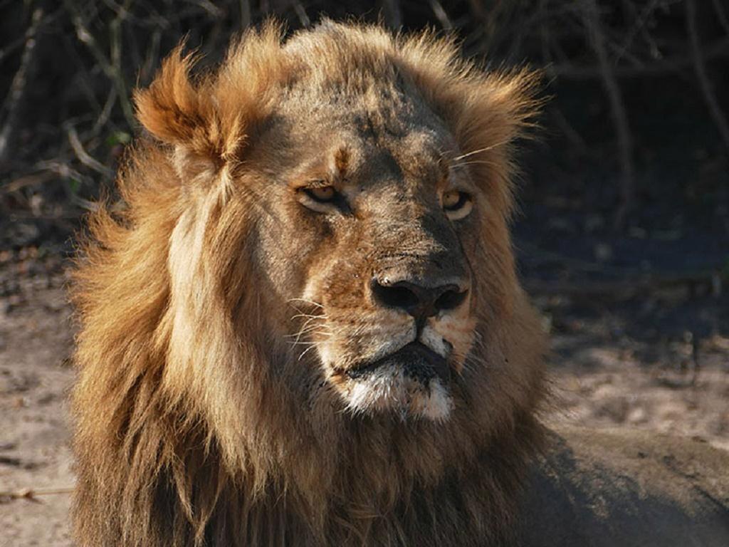 Fauna de Africa - leon